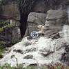Polar Bear, Bronx Zoo, New York
