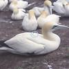 Gannets, Ile Bonaventure, Quebec