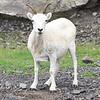 Mountain Goat, Alaska