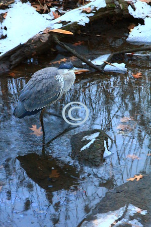 Blue Heron, Middletown, New Jersey
