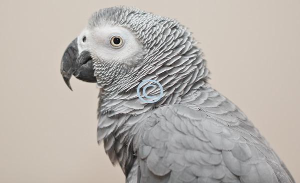 Lola, African Congo Gray Parrot