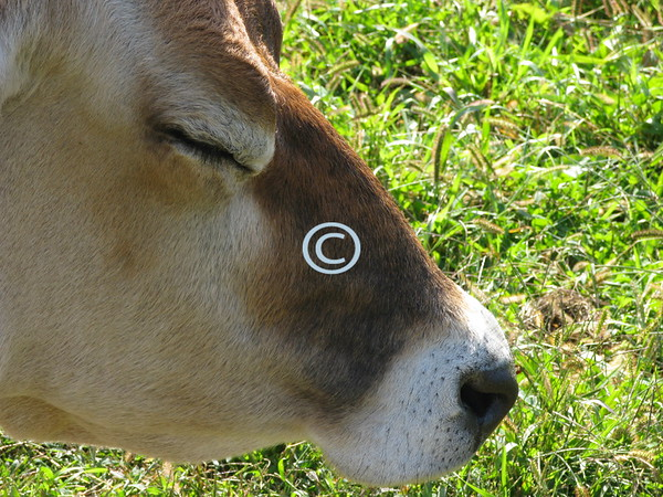 Cow Nap