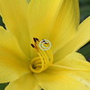 Close-up, Day Lily