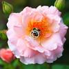 Rose & Bumble Bee