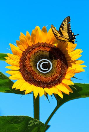 Sunflower & Tigertail Swallow butterfly