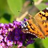 Butterly & butterfly bush