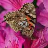Butterfly on azalea