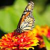 Monarch and zinnia