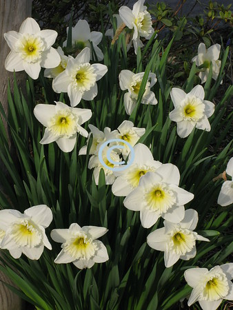 In early spring,<br /> Daffodils bring<br /> Hope and cheer<br /> To those near;<br /> These yellow flowers<br /> Have magical powers;<br /> They radiate joy:<br /> Infinite joy.<br /> - Kulbir