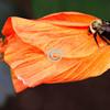 Bee sleeping on hibiscus bud