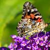 Butterfly & butterfly bush