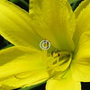 Daylilies live for a day;<br /> Each moment they live,<br /> To the world they give<br /> What words can't convey.<br /> - Kulbir