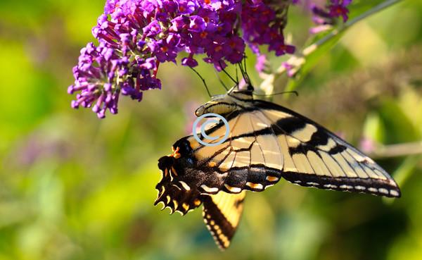 Tigertailswallow butterfly