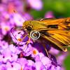 Moth & butterfly bush