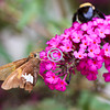 Butterfly and bee on butterfly bush