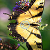 Tigertail swallow butterfly