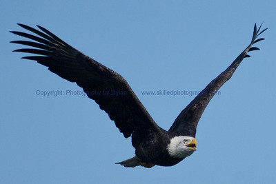 Hungry Bald Eagle