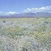 Wild flowers, Death Valley National Park, California