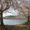 Cherry Blossoms, Bell Labs, Holmdel, New Jersey