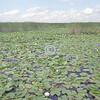 Lotus landscape, Ontario, Canada