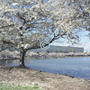 Cherry Blossom, Bell Labs, Holmdel, New Jersey