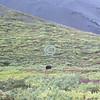 Grizzly landscape, Denali National Park, Alaska