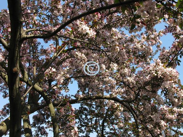 Cherry Blossom, New Jersey