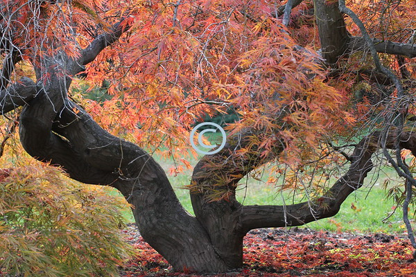 Fall Colors, Gnarled Tree