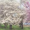 Spring Blossoms, Holmdel Park, New Jersey