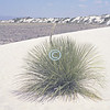 Yucca plant, White Sands National Monument, New Mexico