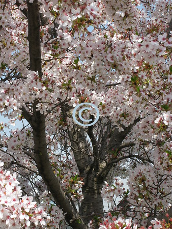 The spring scene<br /> Is a joyous sight:<br /> Trees dressed in green,<br /> Pink and white.<br /> - Kulbir
