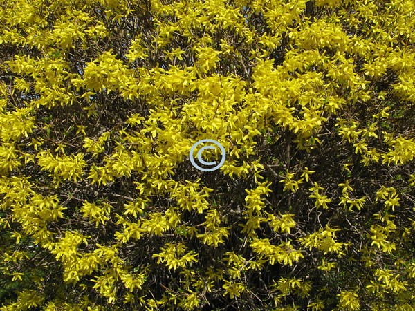 Forsythia<br /> <br /> In spring,<br /> We bring<br /> A blossom yellow,<br /> Bright and mellow.<br /> <br /> In spring,<br /> We sing<br /> A warm hello<br /> To every fellow.<br /> - Kulbir