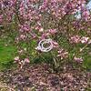 Magnolia Blossom, New Jersey