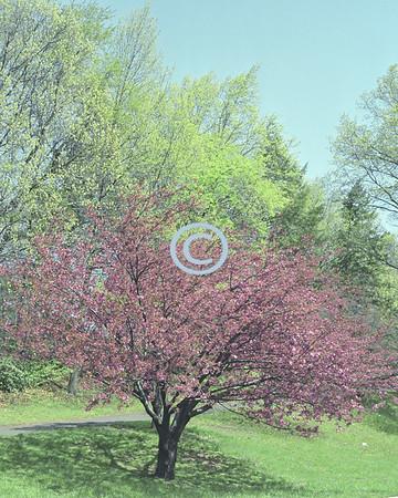 Cherry Blossom, Deep Cut Gardens, New Jersey