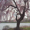 Weeping Cherry, Holmdel Park, New Jersey