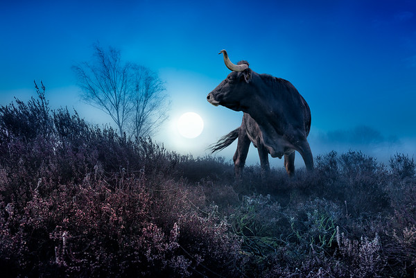Primal Powers | Return of the Auroch Tauros  Agressive Taurus Bull Cattle Returns Back to Europe in the Netherlands Artwork Early Morning Sunrise in the Mist Fog on the Field and Heather Land Terugkeer van de Taurus Stier Oerkracht op Nederlandse Maashorst Heide Wildlife Photography Natuurfotografie Landschapsfotografie Fotograaf Uden  Inspiratie Kunst Art Print Wanddecoratie te Koop