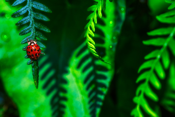 Ballet in Fern | Ladybird Ladybug Beetle in Green Shiny Vibrant Ferns in Summer Morning Light Colorful Colourful Red and Green Tones Shadow Water Waterdrops Lieveheersbeestje in Vaarn bij Ochtendlicht  Nederlands Brabants Landschap