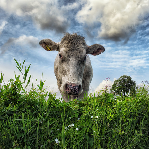 Cow 3622 | Beautiful Dutch Cow with Number in Ear  Standing in Front of Colorful Green Grass White Flowers Foliage Looking Dreamy Curious Curiosity into the Camera Natural Vintage Nature Artistic Wall Decoration Art Animals Model Portrait Cow Photography Dromerige Mooie Nederlandse Koe in Grasland