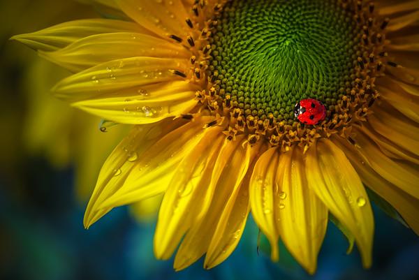Colors of the Sun |  Ladybug on Sunflower with Water Drops Visualization of Burning Sun Flames Flowers Lieveheersbeestje op Zonnebloem met Waterdruppels Kleurrijk Macro Fotografie Rood Geel Groen Blauw Inspiratie Liefde Zomer Vreugde Seizoen