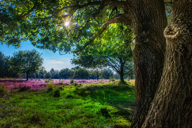 Summer Heath | Brabantse Zomer Heide Landschap Dutch Hobbit Hobbits Fantasy Like Landscape Maashorst Nederlands Landschap