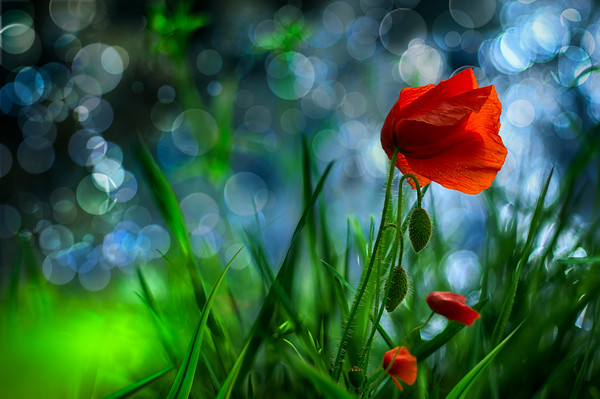 Temptation | Red Poppy Flower at Waterside Beautiful Dreamy Bokeh and Water Reflections Wallart Poster for Sale