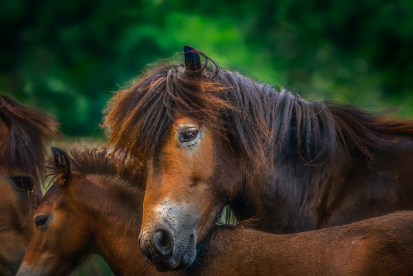 Novelle | Exmoor Ponies Family Together Mother Child Father Beautiful Scene Wildlife Maashorst Quote by John O'Donohue Beauty is the illumination of your Soul
