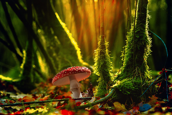 Small Stories of a Fairytale Fairy Tale Like Fly Agaric Bright Beautiful and Happy Red Mushroom with White Dots Spots in A Moody Enchanted Forest filled with Trees and Moss Backlit at Dawn Quote Love is the Enchanged Dawn of Every Heart Vliegenzwam Rood met Witte Stippen Paddestoel in de Maashorst
