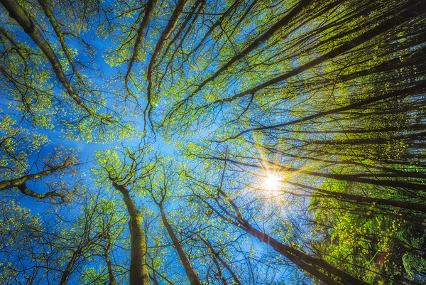 Cool Blue | Spring Trees Reaching for the Sky in Green Forest Sunstar Burning on the Leaves Looking Up POV Maashorst Nederland