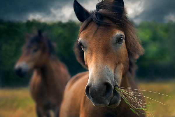 Innocentia | The World is Best Viewed through the Ears of a Horse Exmoor Pony in de Maashorst Wilde Paarden Eet Eten Gras Spiritual Awakening with the Wisdom of Horses