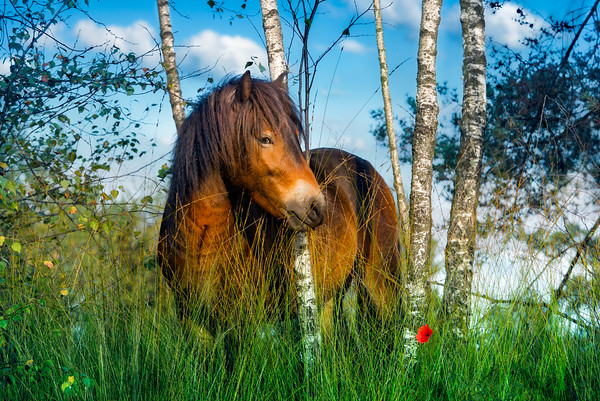 Innocentia In The Lovely Beautiful Dreamy Natural World of Wild Exmoor Ponies | Maashorst Wilde Paarden Pony In Berkenbos Eet Gras Onder een Berk Berkenboom Nature and Landscape Photography The Netherlands