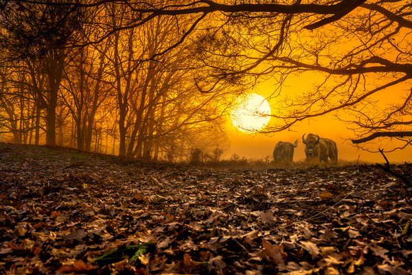 Creativity takes Courage | Wiesent Bison Wild European Bull Maashorst Sunrise Mist Fog Beautiful Big Sun in Background Sky Autumn Leaves on Foreground Dreamy Powerful Storytelling Image taken from Nature Dutch Visual Poetry