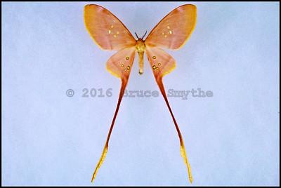 Eustera Brachyura ssp. -Female