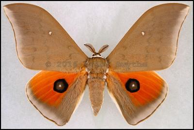 Pseudobunaea Irius -Male