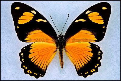 Papilio Dardanus Tibullus form Niobe -Female